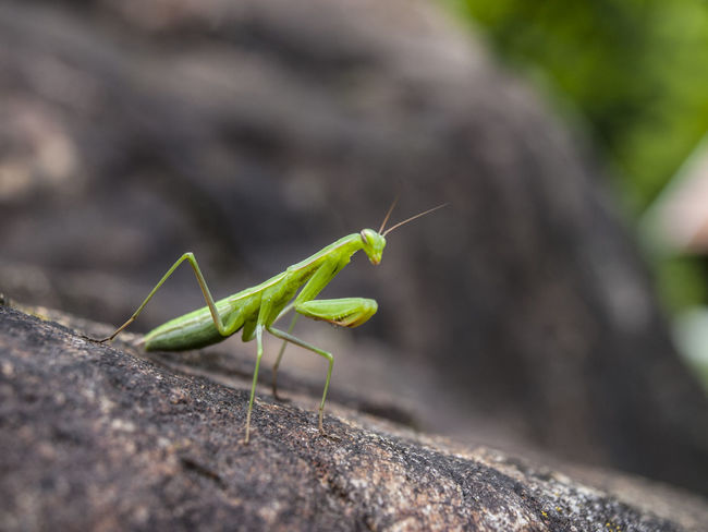 Animal Antenna Beauty In Nature Close-up Day Detail Details Fauna Green Green Color Insect Insect Paparazzi Insect Photography Insects Collection Macro Macro Photography Mantis Colour Of Life Mischievous Nature Nature_collection No People Outdoors Selective Focus