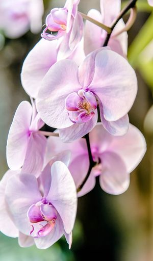 Orchids close-up EyeEm Selects Eye4photography  EyeEm Gallery EyeEm Nature Lover Eyem Best Shots Eyemphotography Flower Beauty In Nature Petal Fragility Nature Growth Freshness Flower Head Pink Color Close-up Blooming Day Focus On Foreground Blossom No People