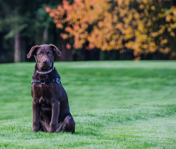 Portrait of chocolate labrador on grassy field
