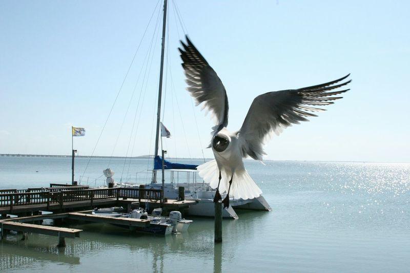 Seagull in mid flight. Seagull Flight Wings Spread SpreadYourWings Spread Your Wings Beach Ocean Marina Bird Photography