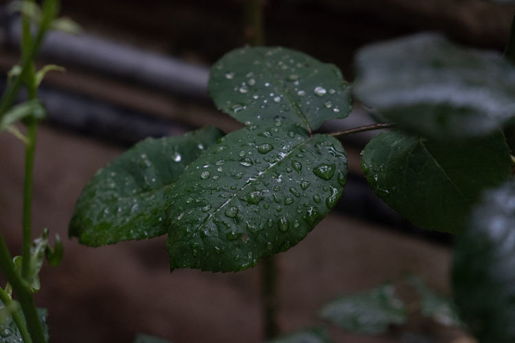 Beauty In Nature Close-up Day Dew Drop Focus On Foreground Freshness Green Color Growth Leaf Leaves Nature No People Outdoors Plant Plant Part Purity Rain RainDrop Rainy Season Selective Focus Water Wet