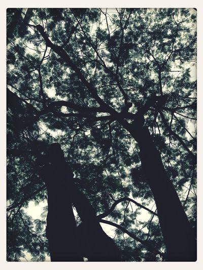 Tree Of Phoenix