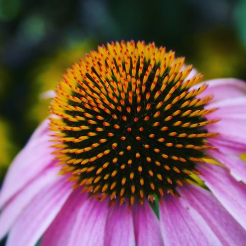 Flower Eastern Purple Coneflower Coneflower Fragility Petal Flower Head Beauty In Nature Plant Nature Close-up Freshness Outdoors