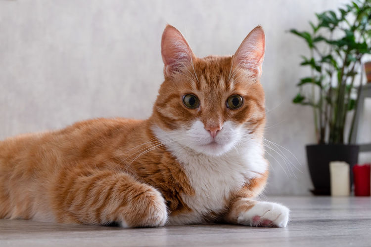 Portrait of ginger cat relaxing against wall