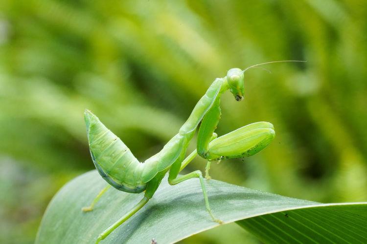 螳螂 Leaf Insect