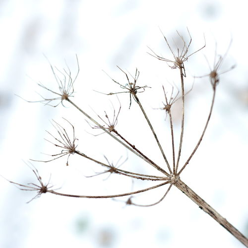 Parsnip seed - snow background Plant Close-up Flower Fragility Vulnerability  Flowering Plant Focus On Foreground Nature No People Beauty In Nature Selective Focus Day Growth Tranquility Outdoors Freshness Plant Stem Twig Dried Plant Dry Dead Plant Dandelion Seed Wilted Plant Dried