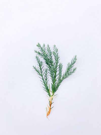 EyeEm Selects White Background Studio Shot Leaf No People Marijuana - Herbal Cannabis High Angle View Green Color Plant Close-up Growth Cannabis Plant Nature Herbal Medicine Freshness Day EyeEmNewHere The Week On EyeEm Pine Tree Pine Decoration Element Object Nature