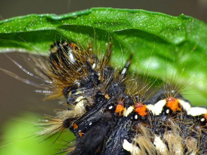 Butterfly Caterpillar Macro Close-up Butterfly - Insect Focus On Foreground One Animal Caterpillar Eating Insect Caterpillar Beauty In Nature Animals In The Wild Animal Themes Animal Wildlife Animals In The Wild Beauty In Nature No People Green Color Leaf German Caterpillar