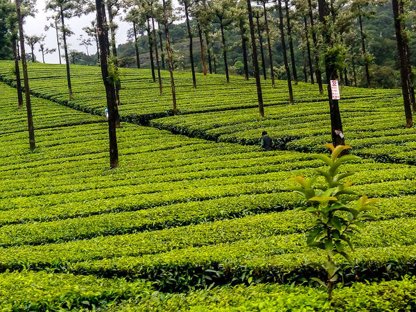 My Year My View EyeEm Best Shots EyeEm Nature Lover Freshness Scenics Beauty In Nature Outdoors High Angle View Environmental Photography No Pollution Greenary❤☺ Green🌿 Greenaryscenary Tea Estate Menstyle Nature Hilly Terrain Exploring Style Outdoor With Adobe AdobeLightroom Outdoor Photography