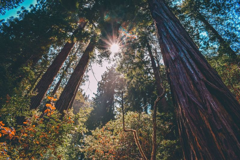 Muir Woods California Tree Sunbeam Lens Flare Low Angle View Sun Nature Sunlight Growth Forest No People Outdoors Day Beauty In Nature Tree Trunk Sky Branch Tree Area