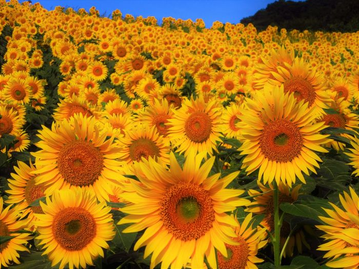 No People Outdoors Nature Flowering Plant Plant Flower Growth Sunflower Yellow Flower Head Close-up Petal
