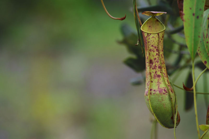 Kantong Semar Pitcher Plant Pitcher Plants Pitcherplant Nephentes Nature Hanging Focus On Foreground Nature No People Close-up Green Color Day Outdoors Freshness Naturelover Nature Photography Themes Nature Themes Beauty In Nature Nature_collection Green Color Survival Fragility Animal Themes