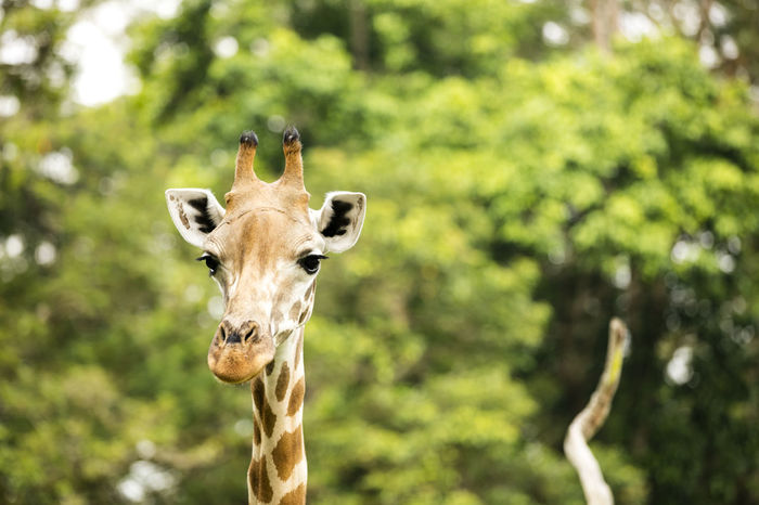 Animal Skin Animal Themes Animal Wildlife Animals In The Wild Close-up Day Dots Focus On Foreground Giraffe Long Neck  Looking At Camera Mammal Nature No People Omnivore One Animal Outdoors Portrait