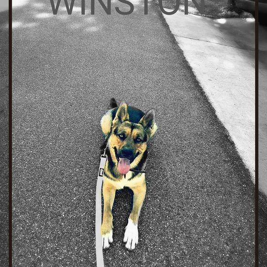 Winston Dog Dogs German Shepherd Dog Training Dog Trainer Ocala Florida Ocala