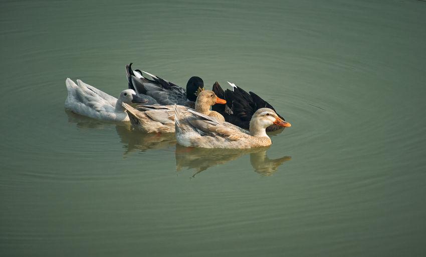 Group of ducks floating in water, at rabindra sarobar lake