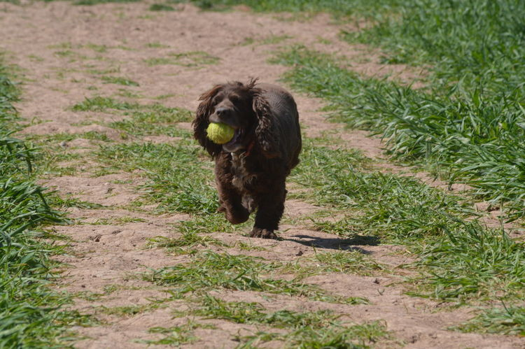 One Animal Grass Animal Themes Nature Portrait Canine Dog Photography Dog Portrait Field Spaniel Spaniel Outdoors No Edit, No Filter, Just Photography Pets Nikon D3200 Playing Ball Pet Portraits
