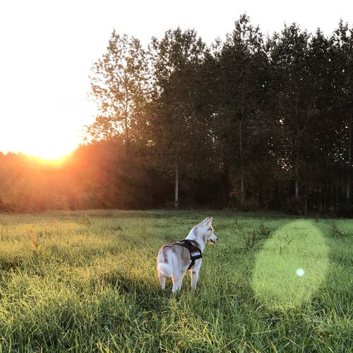 View of dog on field against sky during sunset