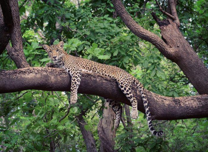 Leopard Animal