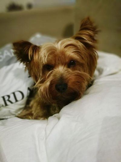 Fifek <3 Yorkshire Terrier Dog One Animal First Eyeem Photo