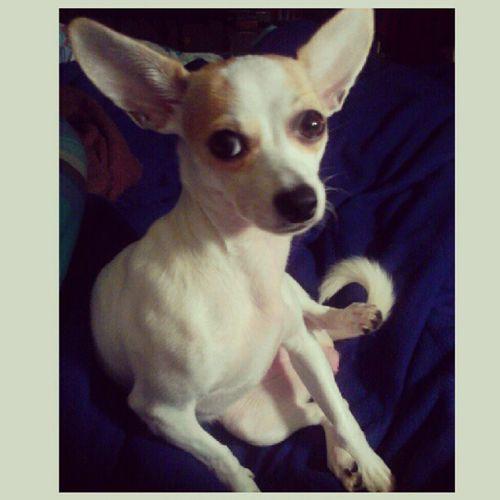 My little Bitz-o-Yoda. Bitztgram Dogstgram Petstagram Chihuahua pet dog ears