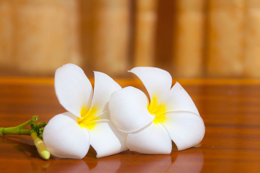 White Plumeria on wooden Beauty In Nature Close-up Day Flower Flower Head Focus On Foreground Food Food And Drink Fragility Freshness Garlic Indoors  No People Petal Plumeria Plumeria Blossoms Plumeria Flowers Table White Color