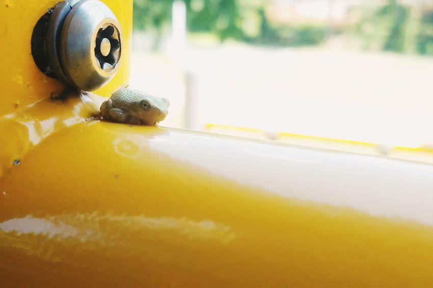 Yellow No People Close-up Frog