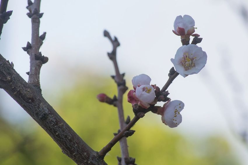 Nature Flowers Blooming Apricot Tree Spring Has Arrived Beauty In Nature Flower Fragility Close-up