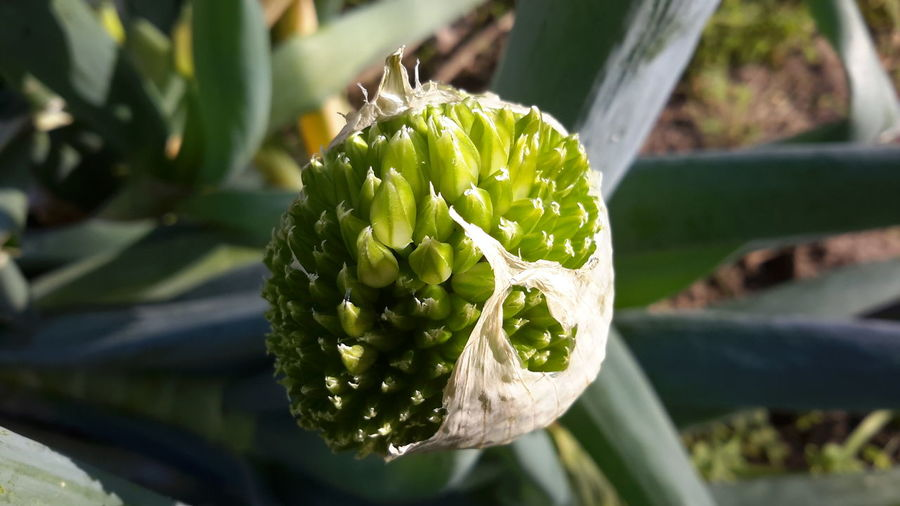 Close-up of shallot flower growing on field