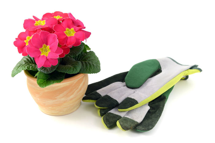 flowerpot with pink primula (Primrose) with garden gloves. white isolated background Terracotta Gardening Gloves Isolated White Background Primeln Primrose Primula Pink Flower Pink Pink Color