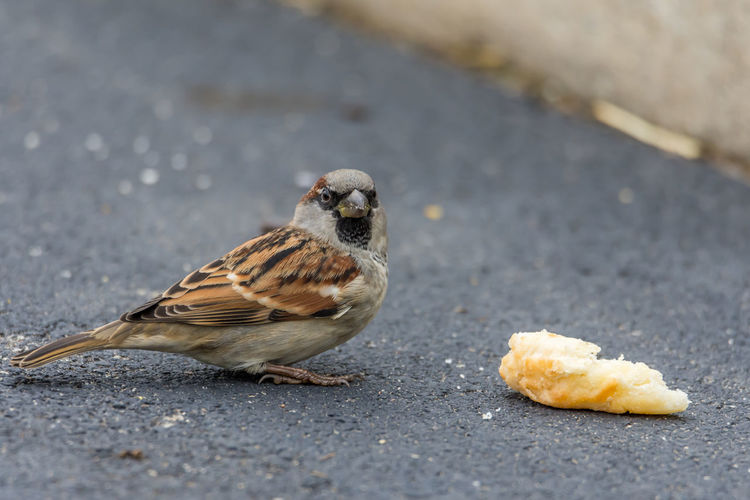 Breakfast Interuption Animal Themes Animal Wildlife Animals In The Wild Bird Biscuit Time Blacktop Breakfast Time Close-up Day Focus On Foreground Nature No People Outdoors Parking Area Perching Sparrow