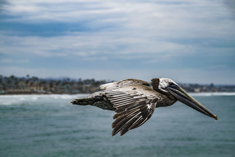 Close-up of pelican flying over sea against sky