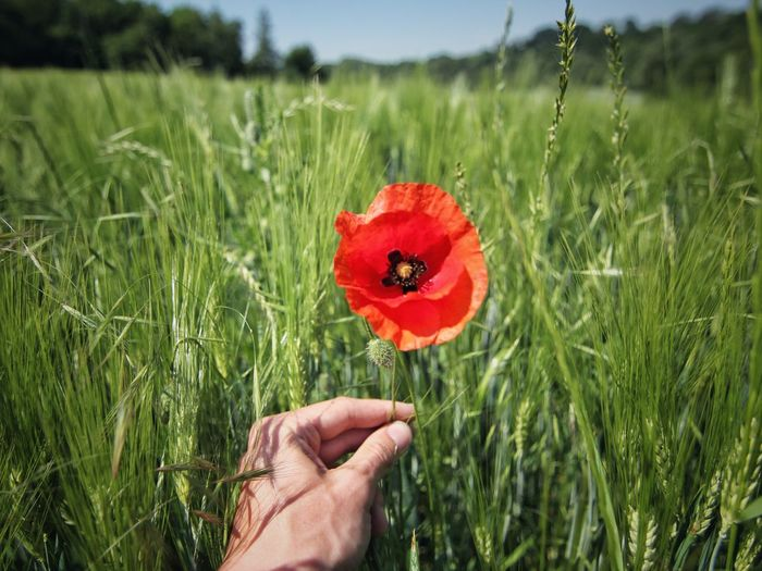 Cropped image of hand holding poppy flower on field