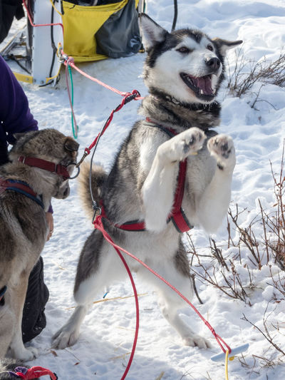 Shrek is happy Animal Themes Canada Cold Temperature Day Dog Happiness Husky Mammal Motivation Nature No People Outdoors Pet Leash Posing Dog Sled Dog Snow Wilderness Wilderness Adventure Wilderness Area Wildernessculture Winter Winter Working Animal Yukon Territory