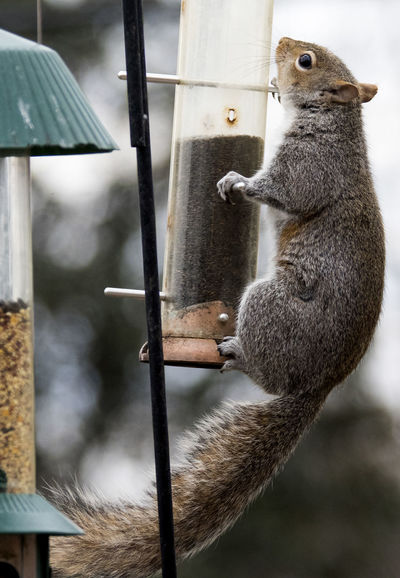 On the bird feeder Animal Themes Animal Wildlife Animals In The Wild Bird Feeder Hanging Close-up Day Focus On Foreground Mammal Nature No People One Animal Outdoors Pest Rodent Squirrel Climbing Squirrel On A Bird Feeder