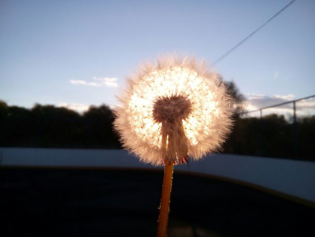 Flower Dandelion Nature Fragility Sky Growth Silhouette Plant Uncultivated Freshness Softness Flower Head Outdoors Beauty In Nature No People Close-up Sunset Day