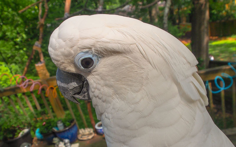 Clara the cockatoo Cockatoo Feathers Animal Themes Beak Bird Close-up Cockatoo Day Domestic Animals Exotic Pets Leafy No People One Animal Outdoors Parrot Pets Portrait Tree White Color