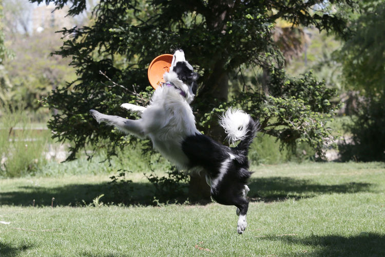 Dogs Puppy Enjoying Life Border Collie SPAIN Frisbee Toy Bird Tree Grass Sky Spread Wings Seagull Flight Eagle - Bird Migrating Avian Sea Bird Flapping Pets