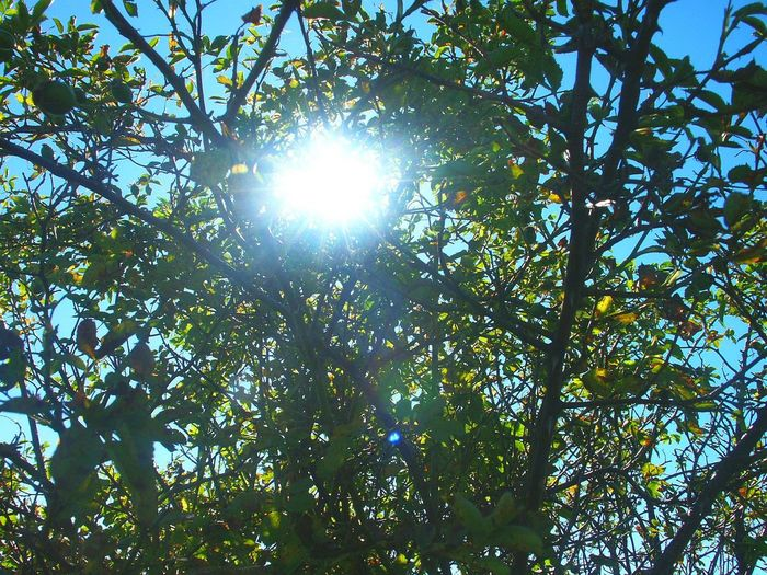 Beauty In Nature Branch Bush And Light Clear Sky Day Freshness Fruit Green Color Growth Leaf Lens Flare Low Angle View Nature No People Outdoors Scenics Sky Sun Sunbeam Sunlight Tranquility Tree