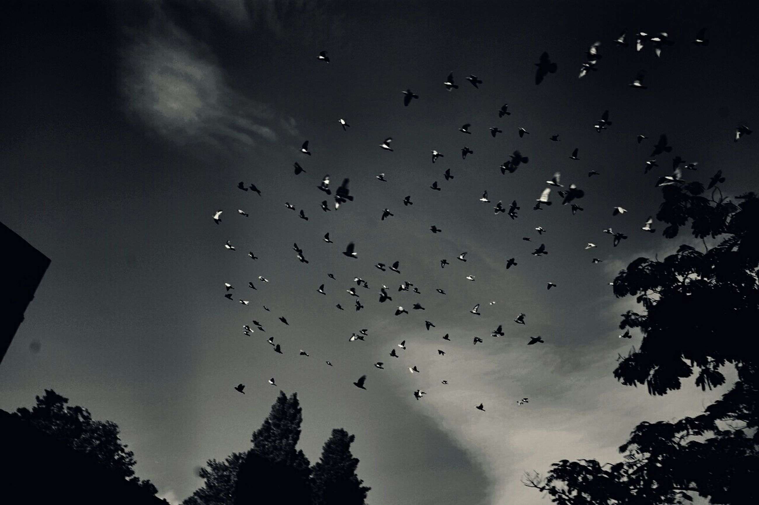 flying, bird, low angle view, animals in the wild, animal themes, silhouette, flock of birds, wildlife, sky, tree, mid-air, nature, cloud - sky, dusk, beauty in nature, outdoors, spread wings, no people, scenics