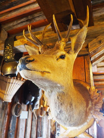 Animal Animal Head  Animal Themes Close-up Dead Animal Deer Hanged Hunting Trophy No People Remote Location Still Life Taxidermy Warm Inside Winter Woods