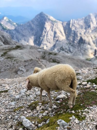 Don't walk away sheep, let's take a photo Hikerslife Mountain Peak Great Outdoors - 2018 Eyeem Awards Hiking Mountains Hikers Paradise Trekking Triglav National Park Slovenia The Alps High Mountains White Sheep Mountain Mammal Animal Themes Animal Mountain Range One Animal Nature Livestock Scenics - Nature Beauty In Nature Day Rock Domestic Animals No People Pets Domestic Sheep