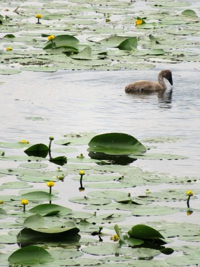 Animal Themes Animals In The Wild Balaton Beauty In Nature Bird Cygnet Floating On Water Fragility Freshness Green Color Growth Lake Lake View Leaf Lily Pad Nature Outdoors Plant Reflection Swimming Tranquility Water Water Flowers Water Lillies Waterfront