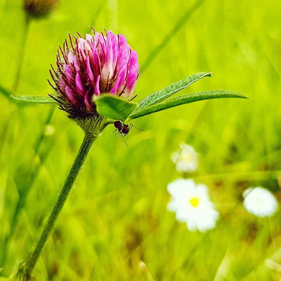 Single pink wild flower with fly hanging from it in middle of green grass. Summer is coming Flower Plant Fragility Nature Insect Uncultivated Purple Petal Beauty In Nature Focus On Foreground Flower Head Wildflower Close-up Outdoors Day No People Freshness Living Organism Animal Wildlife Growth