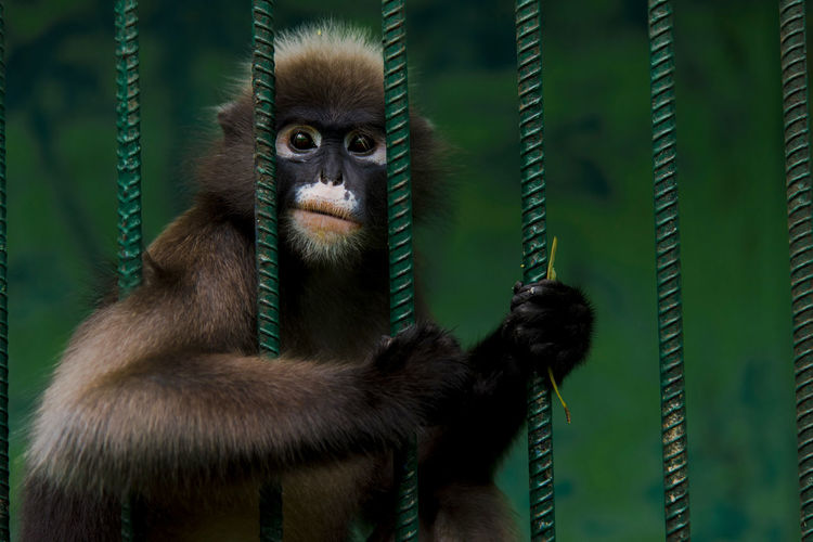 Portrait of monkey in cage at zoo