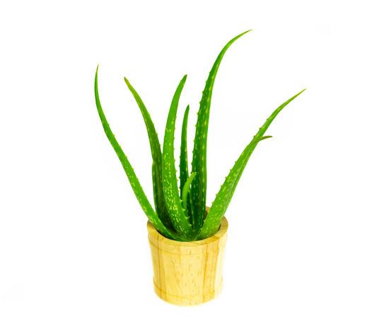 Aloe vera fresh isolated on white background Nature Aloe; Aloe-vera; Arable; Arborescens; Arizona; Beautiful; Bloom; Blossom; Botanical; Bright; Cactus; Close; Closeup; Desert; Field; Fireworks; Flower; Full; Garden; Heal; Healing; Herbal; Macro; Medicinal; Medicine; Mediterranean; Nature; Orange; Plant; P Care; Close-up Closeup; Food Food And Drink Fresh; Freshness Green Color Green; Screen; Chroma; White; Woman; Background; Box; Studio; Showing; Holding; Backdrop; Paper; Message; Key; Photo; Isolated; Card; Board; Camera; Light; Equipment; Wall; Space; Blank; Empty; Greenscreen; Shot; Soft; Photography; Place; Business; Photog Health; Healthy; Herbal; Leaf Medical; Medicine; Nature Plant Plant Part Treatment; Vera; White Background