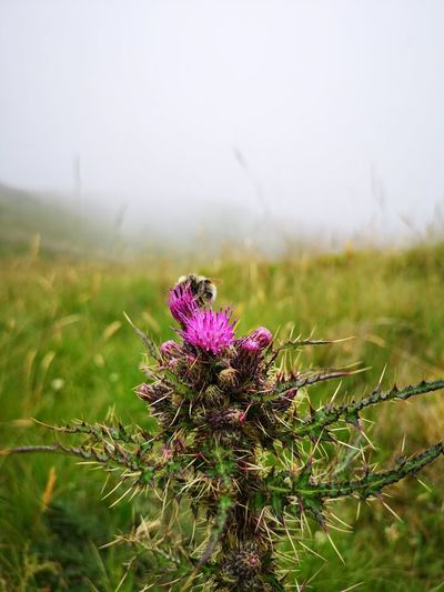 Thistle Thistle Flower Flower Flower Head Fog Nature Reserve Pink Color Uncultivated Social Issues Purple Photography Themes Close-up Bumblebee