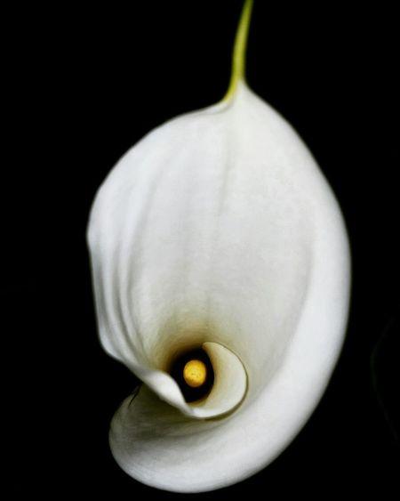 Calla Lily Close-up Freshness Fragility Flower Head Eyeem Flowers Flower Nature Black Background Popular Photos Beautiful Flower