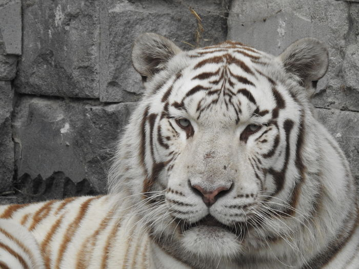 Eyes of the tiger Animal Animal Head  Animal Markings Animal Themes Bleached Tiger Feline Striped Tiger Whisker White Tiger Zoo EyeEmNewHere Be Brave