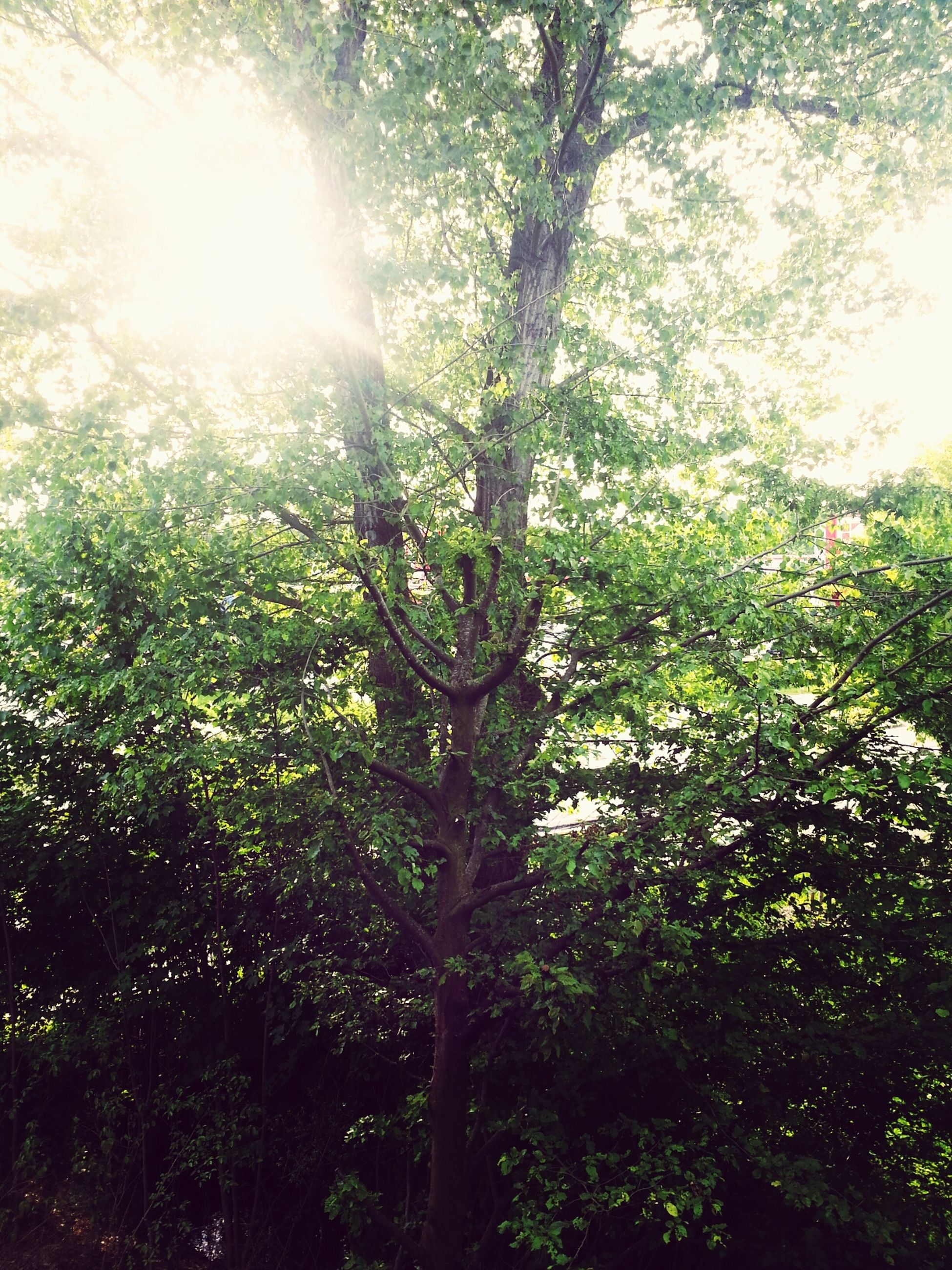 tree, growth, sun, sunlight, low angle view, sunbeam, nature, branch, tranquility, beauty in nature, lens flare, green color, forest, tree trunk, leaf, day, sunny, outdoors, no people, plant