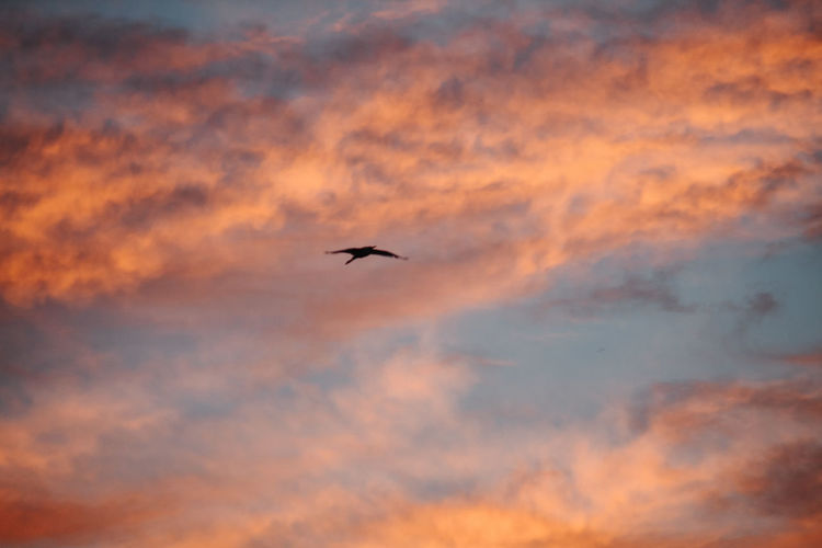 Sunset Cloud - Sky Animals In The Wild Bird Vertebrate Sky Animal Wildlife Animal Themes Animal One Animal Flying Orange Color Low Angle View Beauty In Nature Silhouette Mid-air No People Scenics - Nature Nature Spread Wings Outdoors
